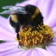 Aanleiding Sinds 2003 houdt imker Paul Wouters bijen aan de Mient. De afgelopen jaren is hij steeds vaker geconfronteerd met omwonende, buurtbewoners alsmede bezitters van hobbytuinen aan de Kornoeljestraat om […]